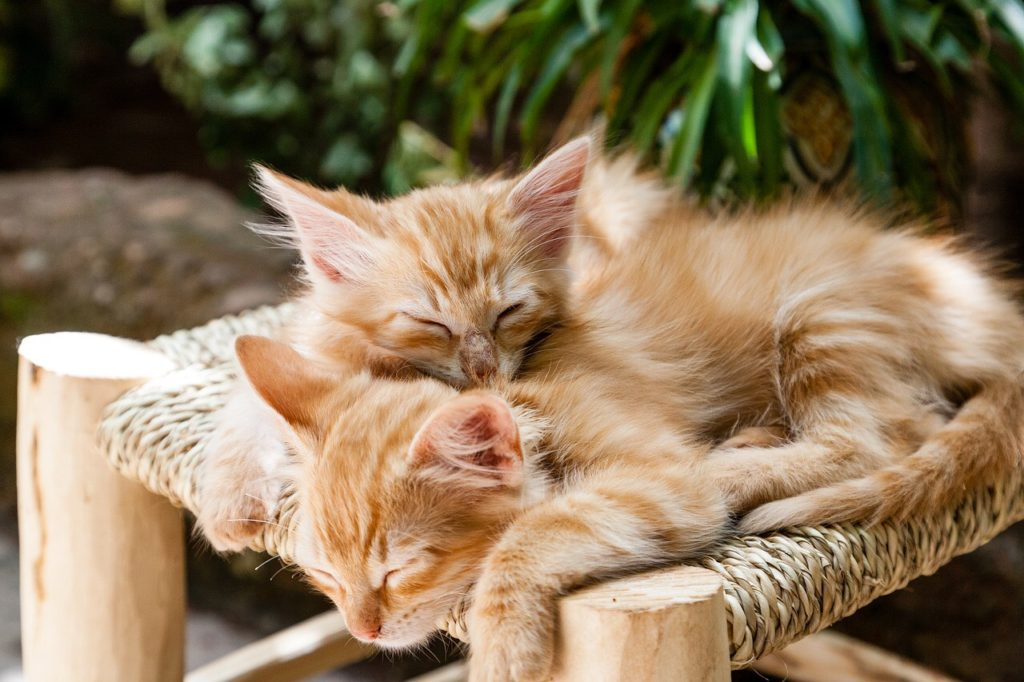 ginger kittens sleeping